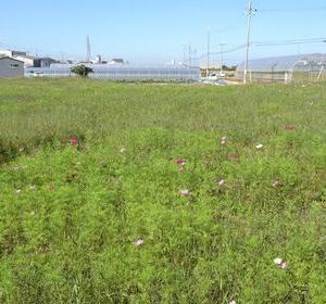 岸和田市にあるコスモス畑へ咲き具合を見に行ったのですが