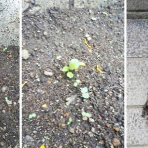 ジャガイモが芽を出していました
