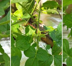 枝豆 豊作の予感