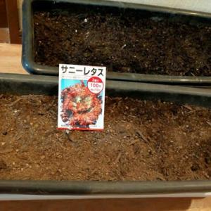 サニーレタスの種を蒔きました
