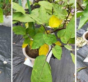 ナスの葉が黄色くなった