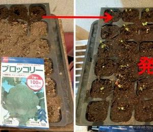 ブロッコリーの種を蒔きました