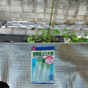 大根の種を蒔きました