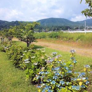 アジサイと袴腰山 20200615