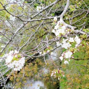 小川の桜。その後♪