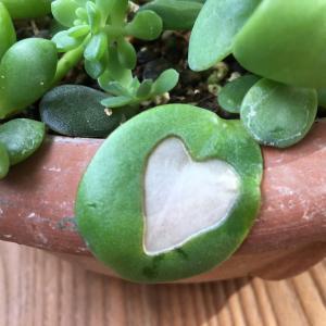 多肉植物育てていますが、葉っぱがハート模様に? *ベランダガーデン