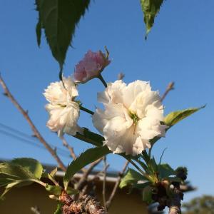 今ごろ、庭の枝垂れ桜が咲いていた。*意外だったユニクロの経営方針に感心したって話し、、、