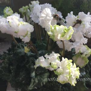 リビングに仲間入り「アイス プリンセス」 フリンジ咲きのシクラメンです。