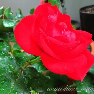 🌹 目が醒めるような赤い薔薇をいただきました。