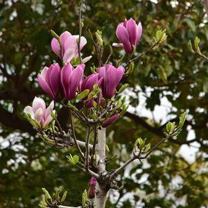 紫木蓮とコブシの花 写ん歩