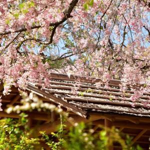 平成最後のしだれ桜を観に。。