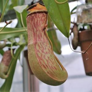 食肉の植物は実在した!?。夢の島熱帯植物館で 『食虫植物と熱帯のいきものたち展』 を見ました。