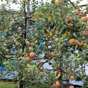 千葉市、 『 光陽りんご園 』 へリンゴを買いに行きました。
