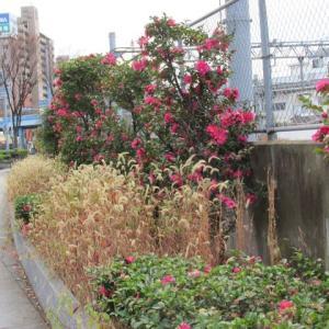 山茶花の咲く道