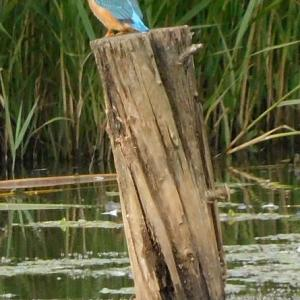 トンネウス沼でカワセミウォッチング '21.09.19