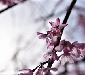 桜・さくら・サクラ1