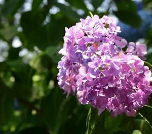 阿弥陀寺の紫陽花