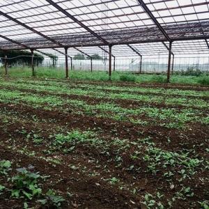2020年6月12日 畑に、栽培していないはずの、トウモロコシの房が落ちていました。