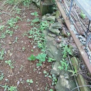 2020年6月14日 落花生の苗を一部定植しました。