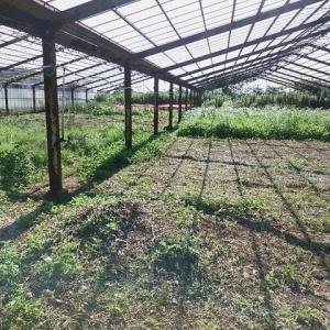 2020年7月31日 畑の草取 ナス(千両2号)が、長雨で、1株枯れてしまいました。