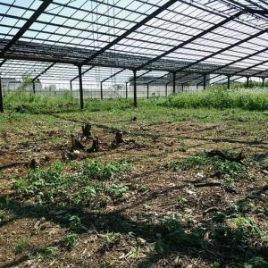 2020年8月15日 畑の手入れ 落花生の子房柄が生えてきました。