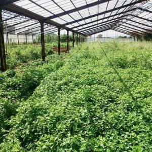 2020年9月21日 春菊追加定植し、畑の手入をしました。