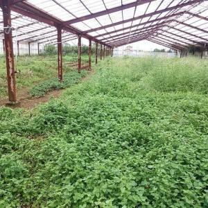2020年9月27日 安納芋試し掘りに、ささげの収穫、赤大根・聖護院大根発芽、畑の手入れ
