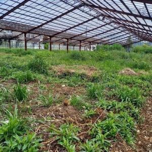 2021年4月16日 きぬさやを一部収穫と雨が降るまで畑の手入れをしました。