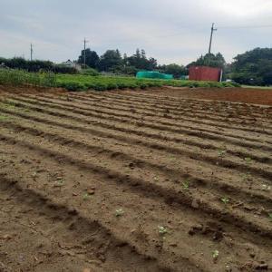 2021年9月13日 畑の草取(主にブロッコリーの苗周辺)をしました。