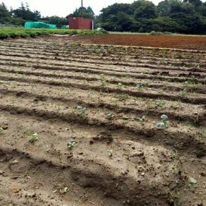 2021年9月20日 畑の手入れ(にんじん畑の草取など)をしました。