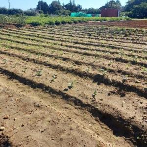 2021年9月27日 落花生(おおまさり)の試し採り・ブロッコリー畑の草取をしました。聖護院大根一部早くも発芽していました。