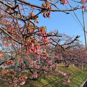 今年はだいぶ早く咲いた河津桜の美しさ