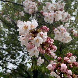 雨の桜を見て思うこと