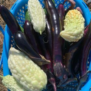 夏の終わりのお野菜収穫