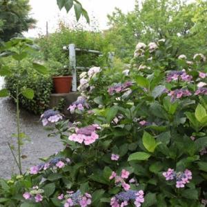 遊休田んぼの紫陽花
