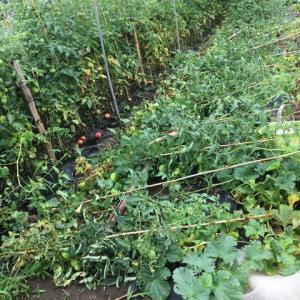 最近の農園事情・苺が終わってトマトの収穫に入る
