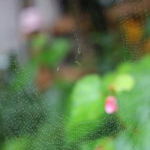 梅雨の秋海棠・蜘蛛の巣
