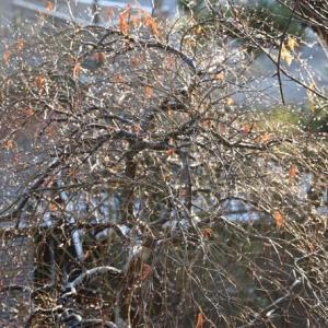 雨後の朝、木々の水滴に光が!