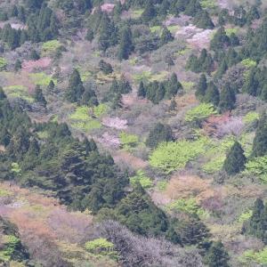 生命が躍動しはじめるこの季節。太鼓岩からのカラフルな新緑と淡いヤマザクラを堪能!【屋久島白谷雲水峡ガイドツアー】