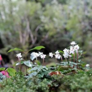 早春を告げる花を愛でながら【屋久島白谷雲水峡ガイドツアー】