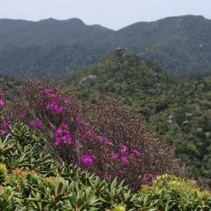 高山植物の宝庫、九州百名山のひとつ屋久島黒味岳登山。いっぱい花が見られたよ!