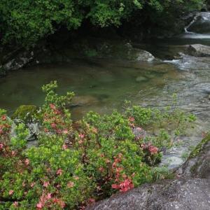 シライトソウの花が見ごろを迎えています【屋久島白谷雲水峡ガイドツアー】