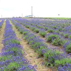 ラベンダー畑、花しょうぶ、ユリ