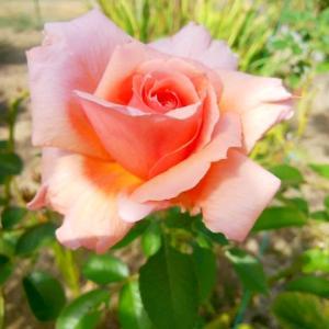 続編、バラが咲き出した