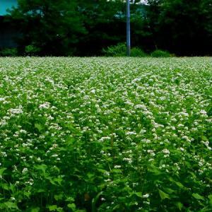 夏ソバの花