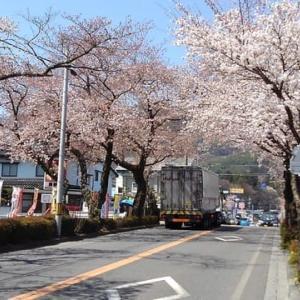 城前線桜のトンネル