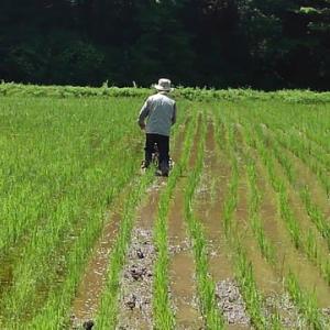 田んぼオーナー 除草作業