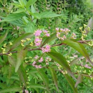 ムラサキシキブ咲く