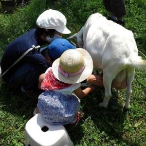 山羊乳しぼり体験