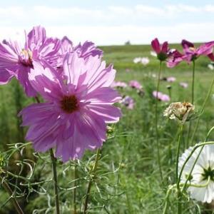 コスモスの花咲く